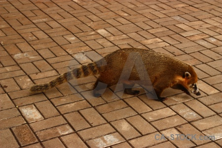 Unesco animal brazil iguacu falls raccoon.