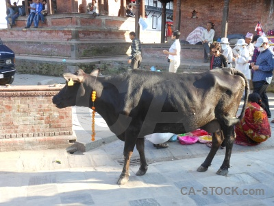 Unesco buddhist durbar square temple cow.