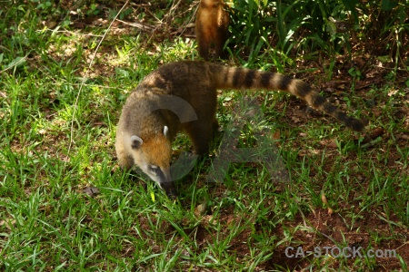 Unesco grass coatis iguassu falls raccoon.