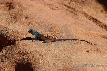 Unesco lizard middle east petra reptile.