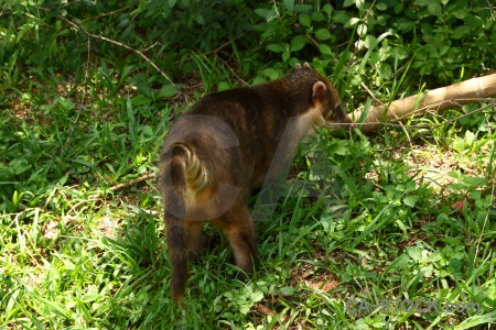 Unesco raccoon grass iguazu falls coatis.