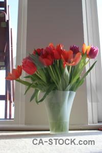 Vase tulip flower bouquet plant.