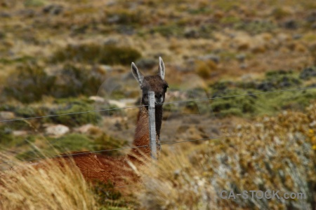 Vicuna deer patagonia field animal.
