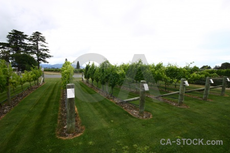 Vine grass sky grape new zealand.
