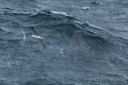 Wandering albatross bird cape horn drake passage animal.