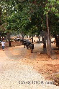 Wat pa luang ta bua yansampanno luangta maha yannasampanno water buffalo tree animal.