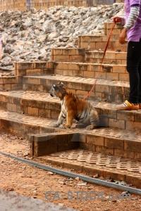 Wat pa luangta maha bua yannasampanno animal tiger temple southeast asia pha luang ta.
