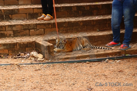 Wat pa luangta maha bua yannasampanno pha luang ta asia cub tiger.