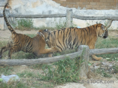 Wat pa luangta maha bua yannasampanno tiger grass thailand animal.