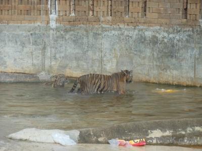 Wat pa luangta maha bua yannasampanno wat pha luang ta tiger temple yansampanno asia.