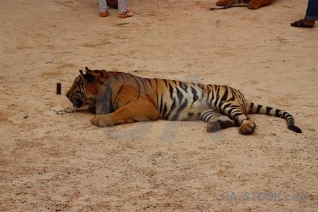 Wat pa luangta maha bua yannasampanno whisker wat luang ta yansampanno tiger temple.