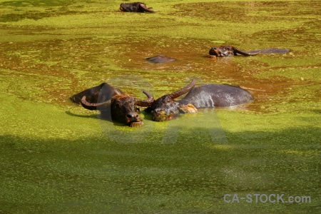 Wat pha luang ta bua algal bloom tiger temple algae water.