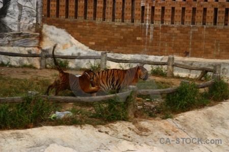 Wat pha luang ta bua animal pa yansampanno tiger southeast asia.