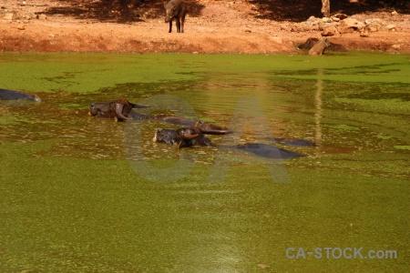Wat pha luang ta bua buffalo algae southeast asia pool.