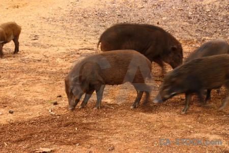 Wat pha luang ta bua pig southeast asia animal thailand.