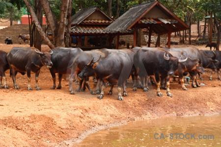 Wat pha luang ta bua pool buffalo asia wat pa luangta maha yannasampanno.