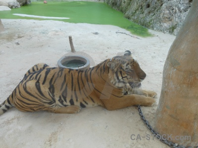 Wat pha luang ta bua wat pa luangta maha yannasampanno animal tiger temple sand.
