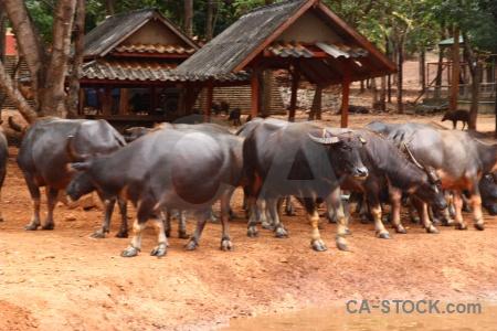 Wat pha luang ta bua water buffalo thailand tiger temple southeast asia.