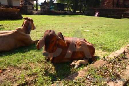 Wat phu khao thong asia unesco animal cow.