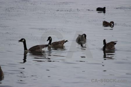 Water aquatic bird animal pond.