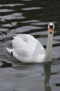 Water bird animal aquatic swan.