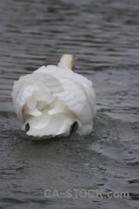 Water bird pond aquatic swan.