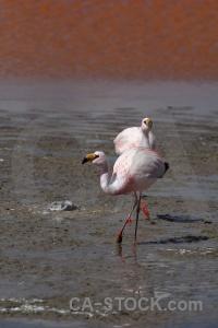 Water bolivia south america laguna colorada bird.