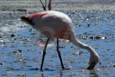 Water flamingo bird south america bolivia.