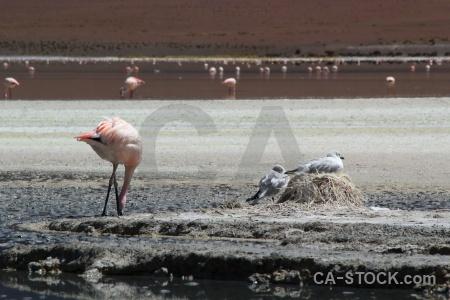 Water nest laguna hedionda salt andes.