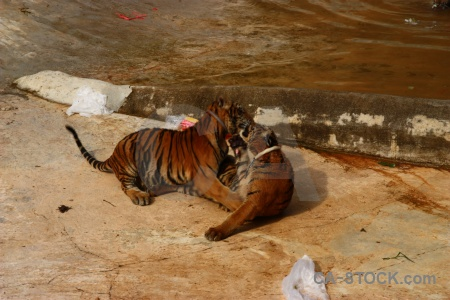 Water pool animal tiger wat pha luang ta bua.
