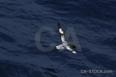 Water sea drake passage pintado petrel antarctica cruise.