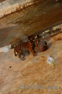 Water tiger temple southeast asia pool animal.