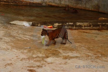 Water tiger wat pa luang ta bua yansampanno southeast asia animal.