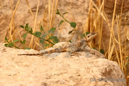 Western asia animal middle east rock reptile.