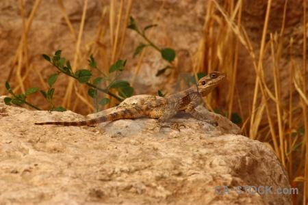 Western asia lizard branch reptile rock.