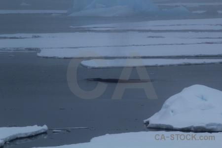 Whale adelaide island animal antarctica cruise day 7.