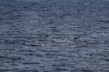 Whale sea water drake passage antarctica cruise.