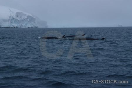 Whale wilhelm archipelago ice antarctica cruise water.