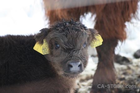 White animal cattle.