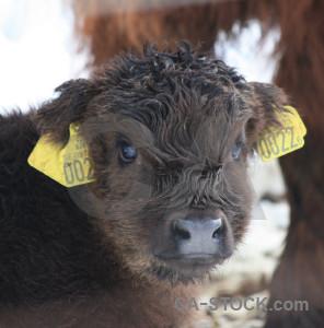 White cattle animal.