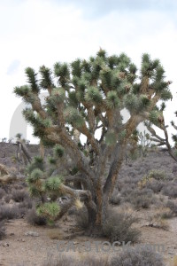 White joshua tree single.