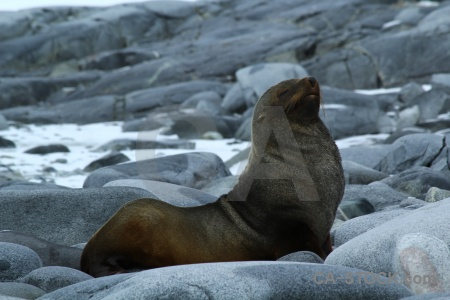 Wiencke island antarctica day 10 fur seal antarctic peninsula.