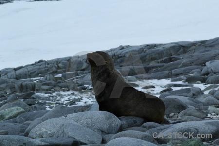 Wiencke island fur seal palmer archipelago stone animal.