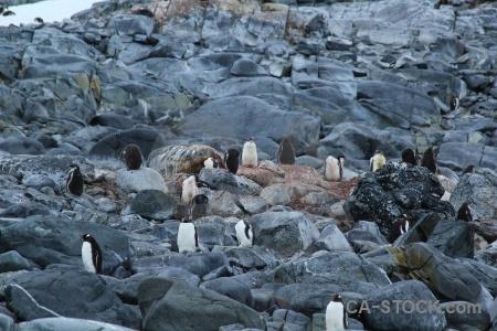 Wiencke island gentoo antarctica animal penguin.