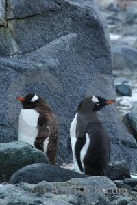 Wiencke island palmer archipelago rock animal antarctica cruise.