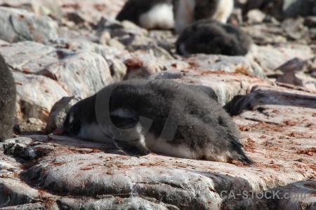 Wilhelm archipelago animal antarctica feces south pole.