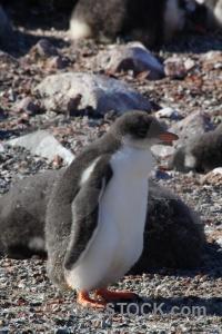 Wilhelm archipelago antarctica cruise antarctic peninsula penguin day 8.