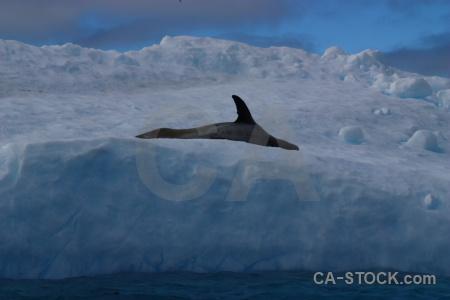 Wilhelm archipelago antarctica cruise iceberg antarctic peninsula sea.