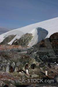 Wilhelm archipelago day 8 gentoo rock penguin.