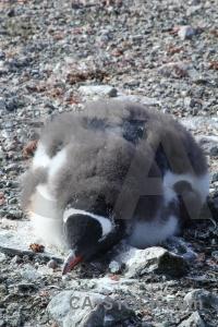 Wilhelm archipelago petermann island antarctic peninsula stone antarctica.